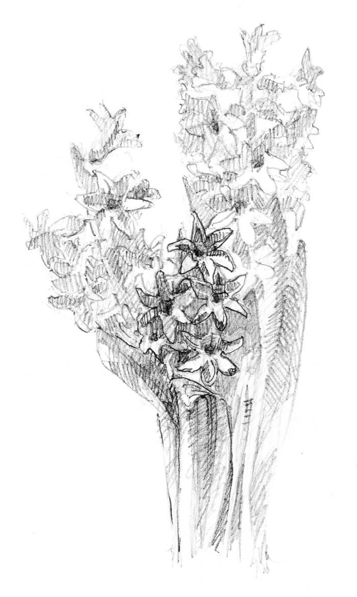 Pencil_hyacinth1