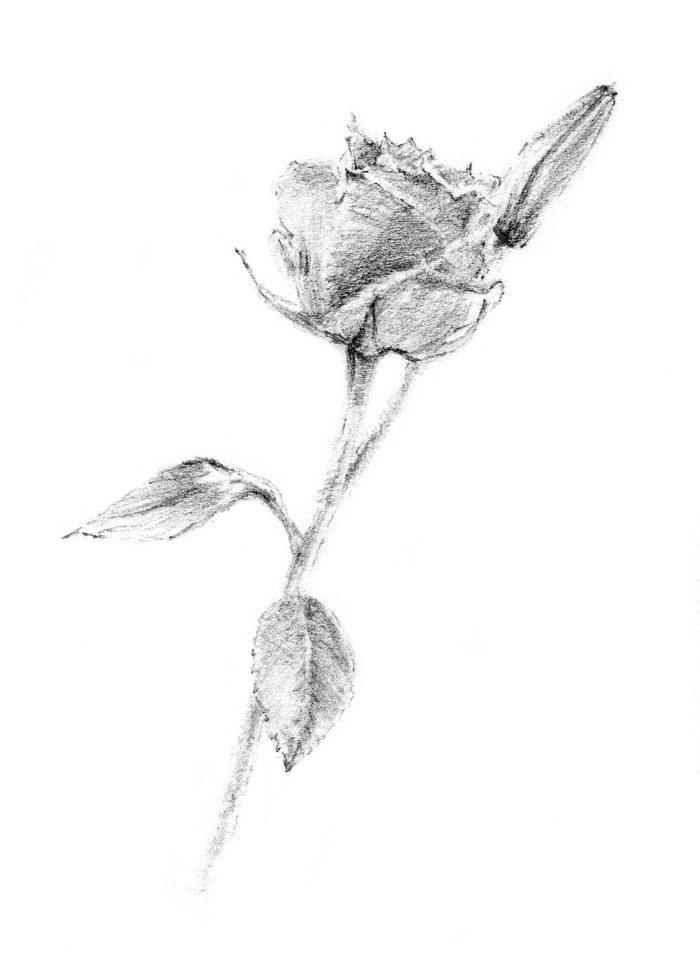 p_rose1