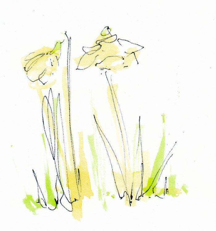 w_Daffodils1